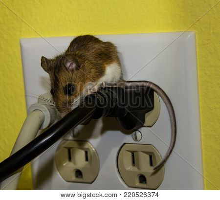 A side view of a brown house mouse on a thick black wire. The plug going into a four circuit wall outlet with the wall in back being bright yellow.