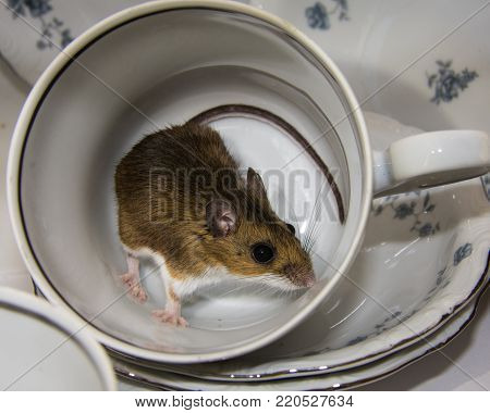 A wild brown house mouse standing in an overturned teacup surrounded by blue and white fancy dishes in a kitchen cabinet.