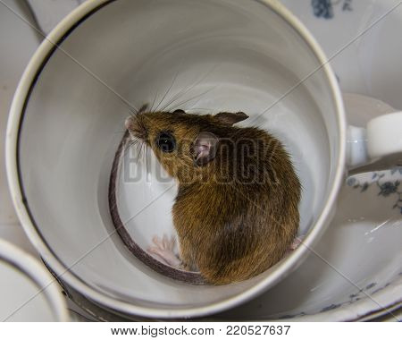 Close up top side view of a wild house mouse curled up in a tea cup.