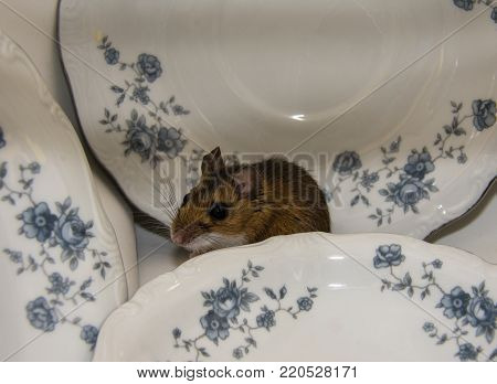 A side view of a wild brown house mouse hiding behind a stack of blue and white plates in a kitchen cabinet.