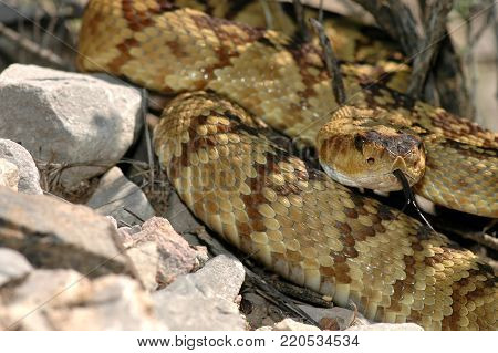 A black-tailed rattlesnake photographed in-situ, in southern Arizona.