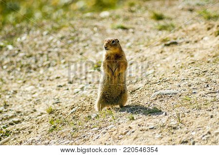An Arctic ground squirrel stands guard over the tundra in Denali National Park