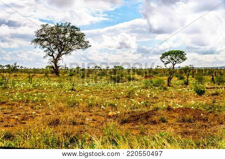 Wildflowers under partly cloudy sky in spring time in Kruger National Park in South Africa