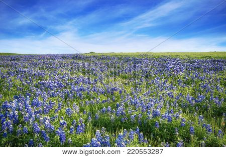 Texas Bluebonnet field blooming in the spring. Blue sky with clouds.