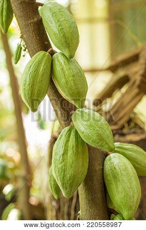 Cacao fruit, raw cacao beans, Cocoa pod on tree.