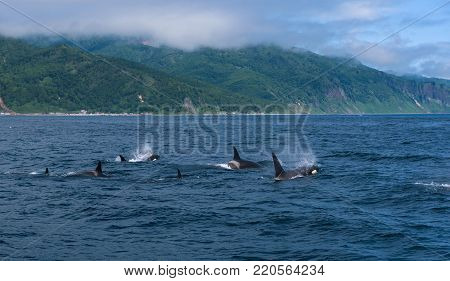 A group of Killer Whales swimming in the sea of Okhotsk near the Shiretoko Peninsula, Hokkaido, Japan