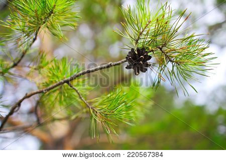 Green pine tree with the pinecone on the sprouts.