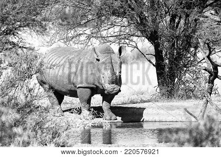Monochrome white rhino with big horn at a waterhole