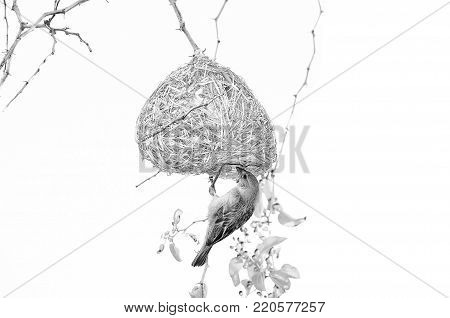 Male Southern Masked Weaver building his nest. Monochrome