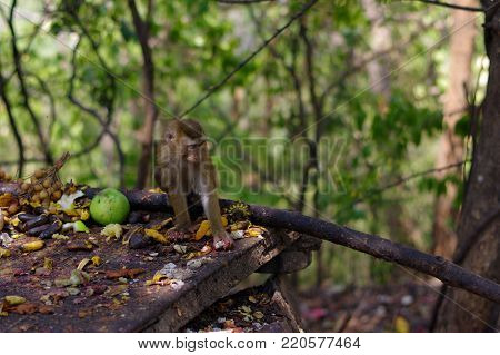 A macaca monkey family eating lot of fruits, Phuket Thailand.