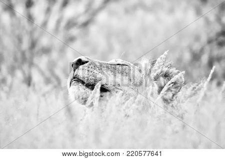 Male lion hiding in grass the Kgalagadi. Monochrome