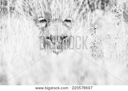 Lion hiding in the grass in Northern Namibia. Monochrome
