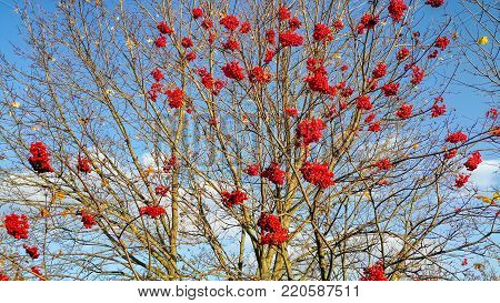 Branches of autumn mountain ash with bright red berries against the blue sky background