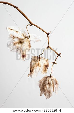 Dead wilted Orchid Phalaenopsis flower petals with isolated on white background