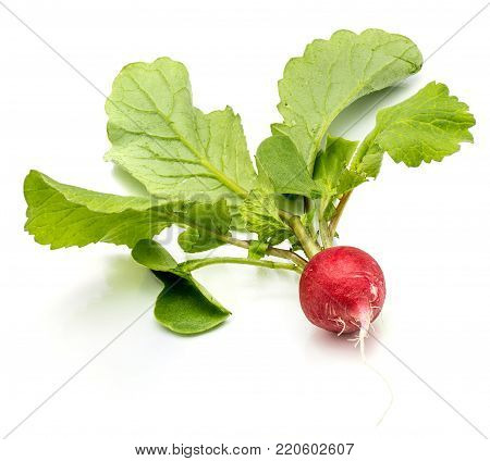 One whole red radish with fresh green leaves isolated on white background