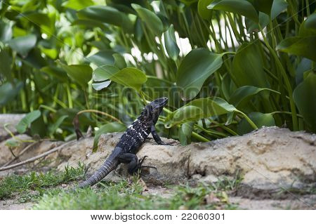 Dark colored reptile on a rock in front of green vegetation poster