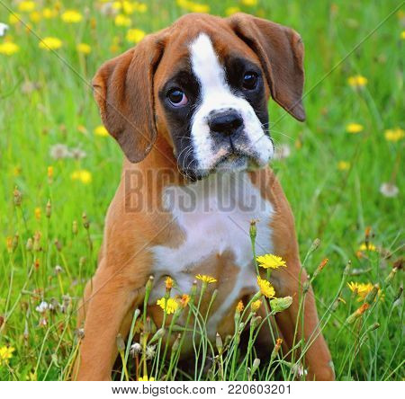 small and cute boxer's puppy in different situations