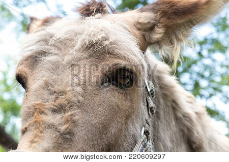Head of a donkey looks at the camera