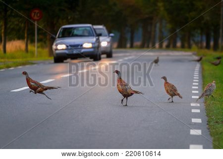 Family of wild pheasants walking on the road of Sweden