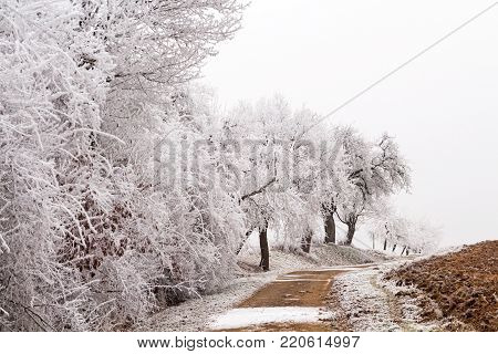 white trees at a country lane in winter