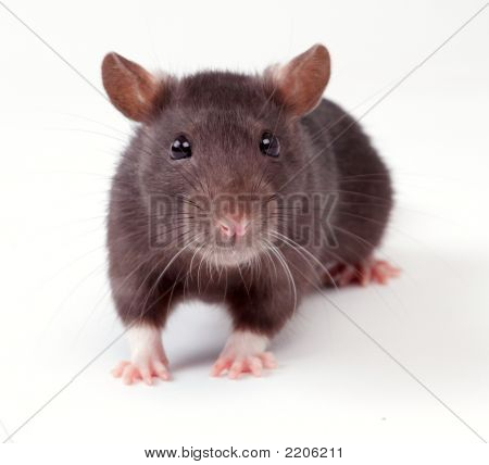 Rats animals very clever and artful rodents poster