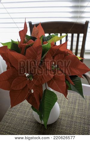 Vibrant red poinsettia blossoms and green leaves in a white vase on a table in front of bright window with closed blinds.