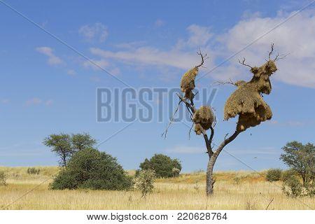 Sociable weaver nest in a dead tree amidst the sand dunes in the Kalahari