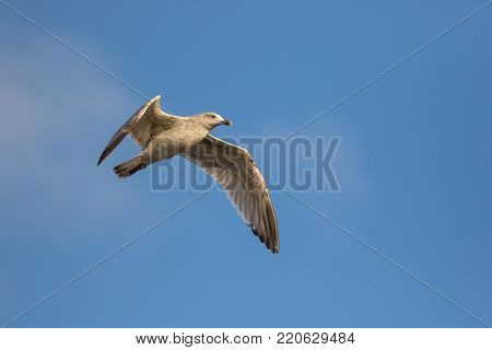 Seagull in winter plumage. Gull suspended in flight against blue sky background. Sea bird flying. Winter wildlife nature image with copy space.
