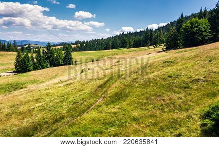 spruce forest on a grassy hillside. beautiful summer landscape in mountains