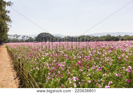 Pink white and red cosmos flowers garden,Blurry to soft focus and retro film look new color modern tone.