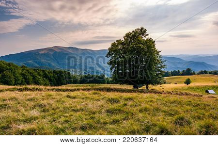 tree on the grassy alpine meadow of Carpathians. beautiful mountain landscape with beech forests on hillside in summer