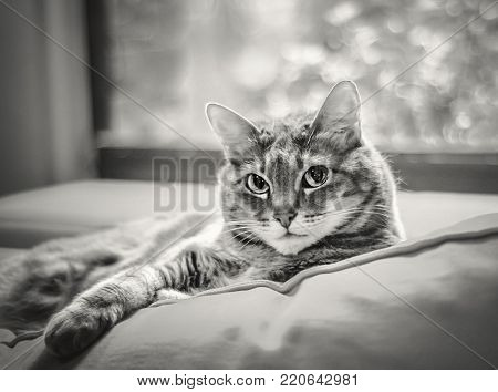 Portrait of Beautiful, Tabby Cat, Lounging on Sofa, Looking at Camera