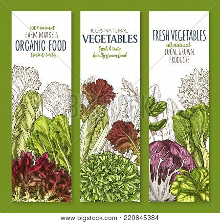 Leaf vegetable sketch banner set of salad greens. Chinese cabbage, iceberg lettuce, spinach, arugula, bok choy, endive, radicchio, cress, romaine and chicory, vegetarian salad ingredient poster design