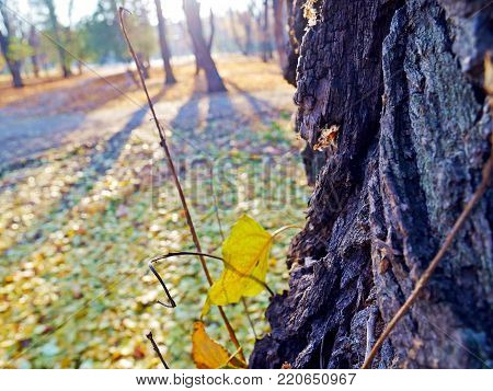 a park autum tree trunk yellow leaves