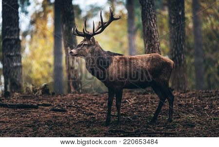 Red Deer With Pointed Antlers Walking Along Trunks In Fall Pine Forest.