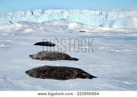 Seals - ringed seal (Pusa hispida), lying in the snow on a sunny day and looking at the camera. Close-up. Antarctic