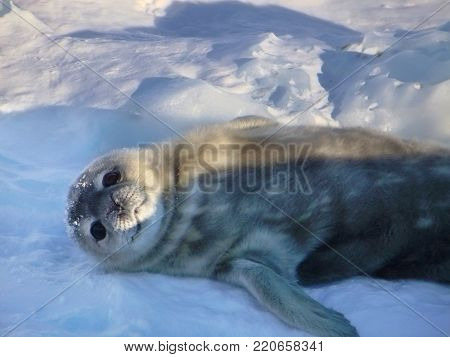 Seal - ringed seal (Pusa hispida), lying in the snow on a sunny day and looking at the camera. Close-up. Antarctic