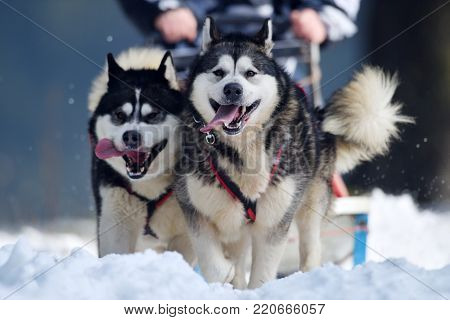TUSNAD, ROMANIA - january 30: portrait of dogs  participating in the Dog Sled Racing Contest. On January 30, 2017 in TUSNAD, Romania