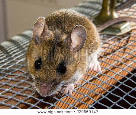 An adorable wild brown house mouse sitting on a wire and wooden cage.  This frontal shot shows his bulging black eyes and pink ears clearly.