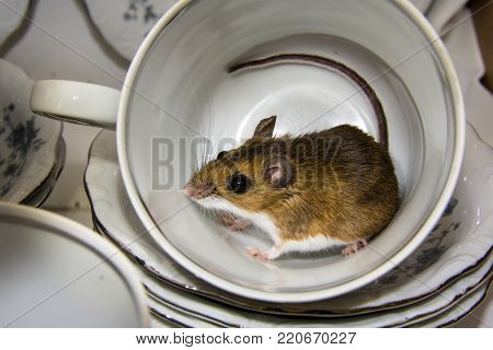 a wild brown house mouse, Mus musculus, curled up inside of a blue and white tea cup.  A set of stacked dishes is visable in the background.