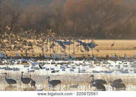 Water fowl and cranes are shown here from the Bosque Del Apache National Wildlife Refuge. poster