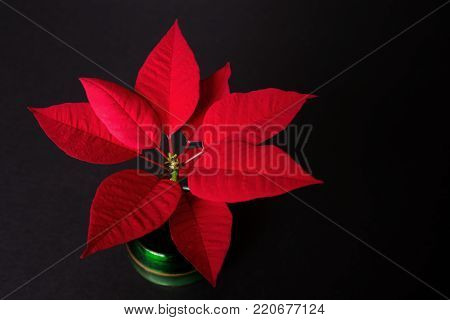 A potted poinsettia (genus Euphorbia) displays its brilliant red leaves at Christmas time.