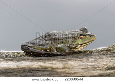 Frog closeup on nature background, riverbank. Common Frog (Rana temporaria) also known as the European common frog, European common brown frog, or European grass frog,   sitting on a single branch against a light grey background. Ukraine