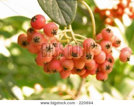 Red Berries-2