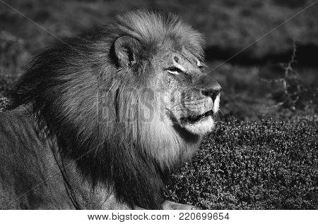 A monochrome Kalahari lion, panthera leo, at Kuzuko in the Eastern Cape Province of South Africa