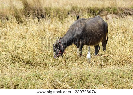 Water buffalo with a Black drongo on its back and an intermediate egret eating grasses in the field , Thailand