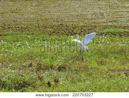 The intermediate egret at Chorakhe Mak Reservoir, Buriram Province , Thailand