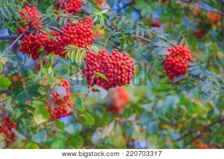 background of berry trees. bunches of red mountain ash on a blurred background of the garden