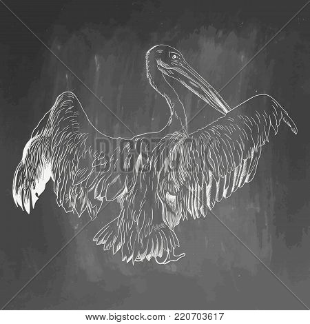 Pelican icon. Hand drawn vector illustration isolated on chalkboard background. White realistic sketch on blackboard and chalkboard imitation.