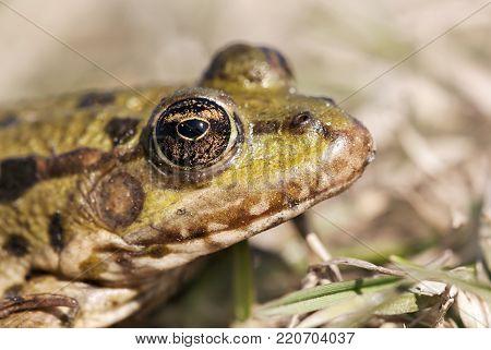 Animal ugliness - brown eye of a green frog